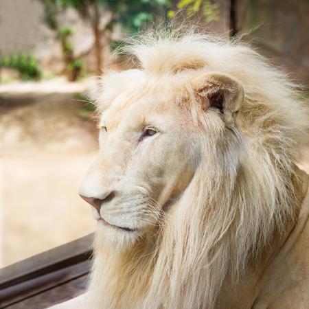 Young white lion in the act of looking for something