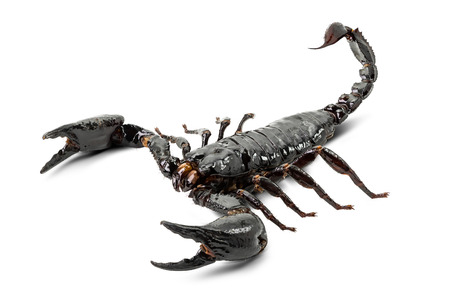 Scorpion isolated on white background Banco de Imagens
