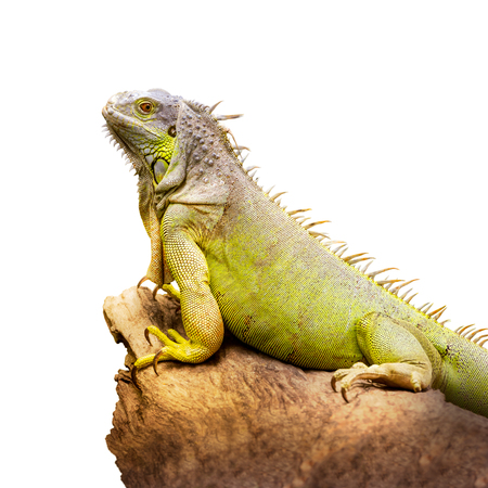 Green iguana hold on the dry timber isolated on white background Stock Photo