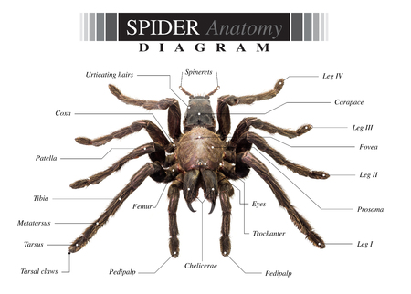 Diagrama De La Anatomía Del Escorpión Negro Sobre Fondo Blanco Fotos ...