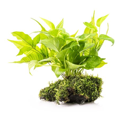 Houseplant and fern with moss on wood for aquarium decoration isolated on white background