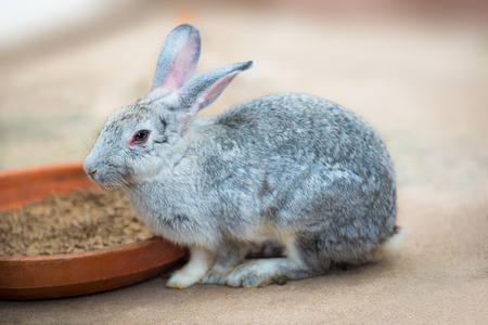 Cute grey rabbit in the act of eating the animal feed in farm