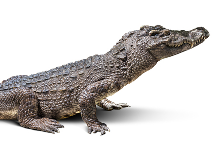 De het wild krokodil op witte achtergrond wordt geïsoleerd die
