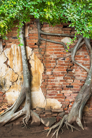 Climber banyan tree on ancient historic brick wall