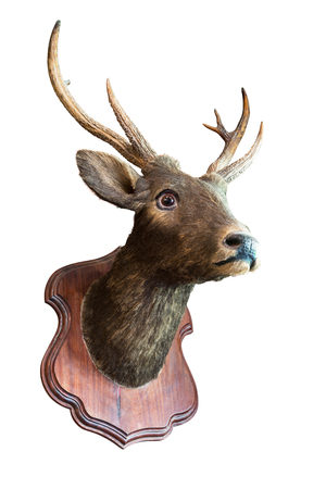 Stuffed deer head taxidermy on wooden board for decoration isolated on white background with clipping path