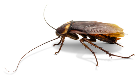 Cockroach isolated on white background with clipping path Stockfoto