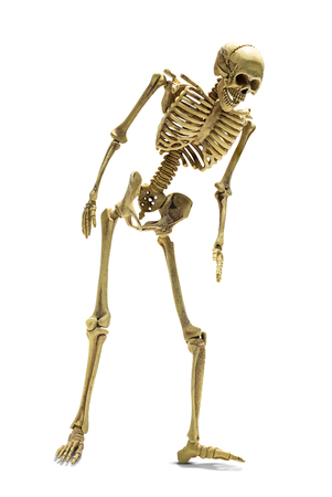 Standing human skeleton model for basic medical education isolated on white background with clipping path Stock Photo