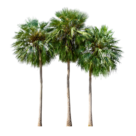Group of sugar palm tree or toddy palm isolated on white background