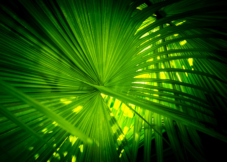 Green natural background from palm leaf for verdant concept