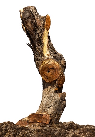 Stump of dead tree on the ground isolated on white background with clipping path