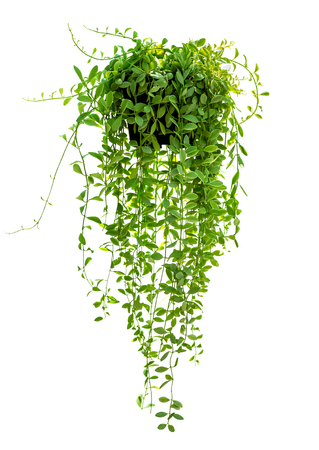 Hanging houseplant in pot for garden and home decoration isolated on white background 写真素材
