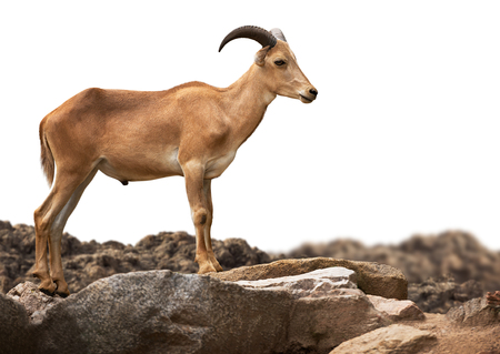 Young brown Barbary sheep standing on stone isolated on white background with clipping path