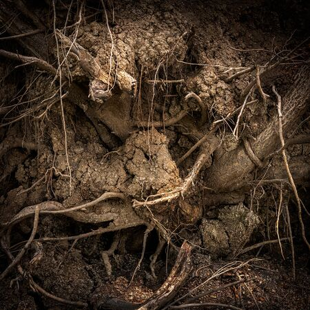 Root of tree in underground for abstract natural background
