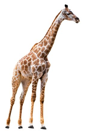 Giraffe isolated on white background with clipping path 写真素材