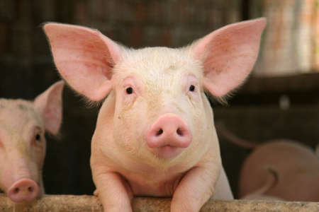 cochinos: Cerdo inclinado sobre la barandilla de su cuna  Foto de archivo