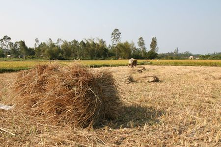 bend over: Woman bend over working in the ricefields (focus on bale of hay in the foreground) Stock Photo