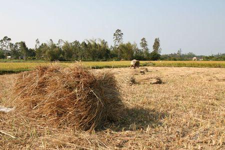 sich b�cken: Woman Kurve im Verlauf des Arbeitslebens in der ricefields (Schwerpunkt in Ballen Heu im Vordergrund)