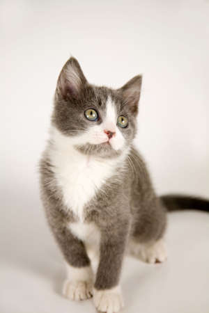Cute grey kitten sitting on grey background and looking up