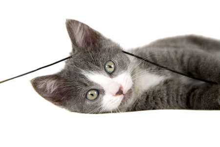 Cute grey kitten lying with a string of rope on her head