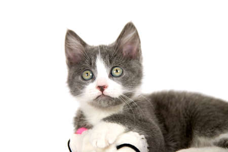 Cute grey kitten with a curious look on it's face Stock Photo - 926168