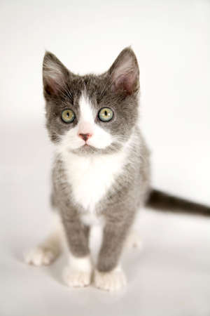 curiously: Cute grey kitten sitting and looking up curiously