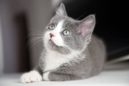 Cute grey kitten sitting and looking up Stock Photo - 926173