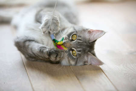 Cute gray kitten lying on a wooden floor playing with its toy