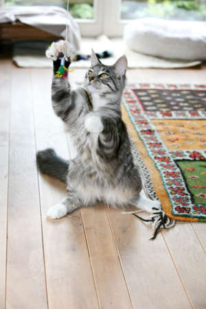 Cute cat trying to catch the play feather that is dangling in front of his nose