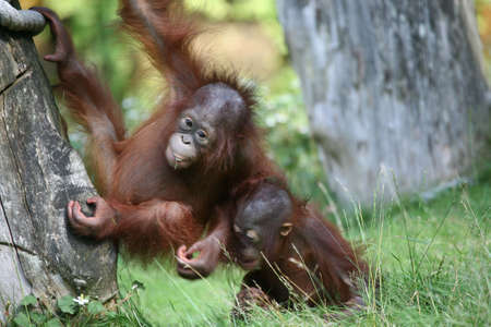 orang: Two young orang utan babies playing together in the zoo Stock Photo
