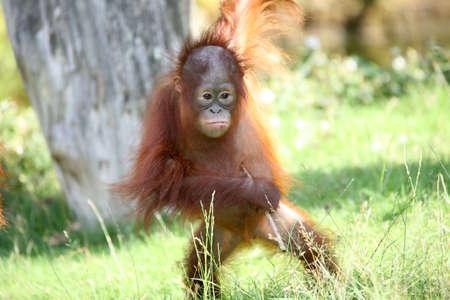 orang: Cute young orang utan looking for trouble