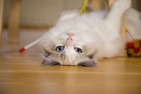 loveable: Cute kitten lying upside down looking at the camera