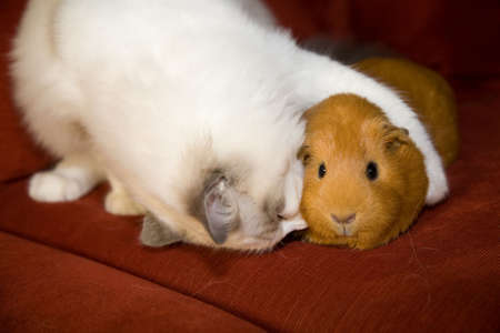 loveable: Cat and guinea pig in an akward embrace