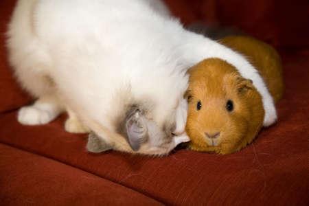 świnka morska: Kot i Gwinea wieprzowych w akward embrace