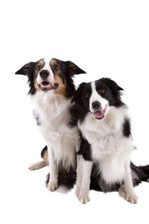 dogs sitting: Dos ovejas perros sentados uno al lado del otro sobre fondo blanco