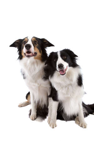 Two sheep dogs sitting side by side on white background