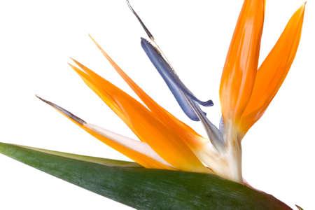 exotic flower: Beautiful exotic flower on white background Bird of paradise