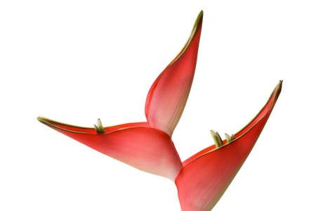 flores exoticas: Helicon hermosa flor roja sobre fondo blanco