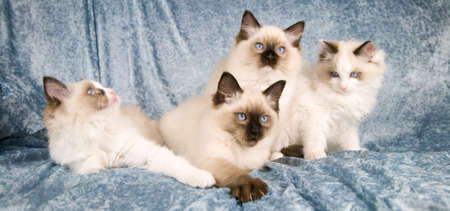 Four ragdoll kittens in a row Stock Photo