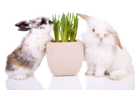 osterhase: Kleines Osterhasen auf wei�em Hintergrund mit Fr�hling Blumen