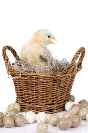 hatched: Small two week old chicken sitting in a basket surrounded by eggs