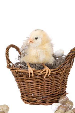 hatched: Cute little fluffy chicken sitting on the edge of a basket