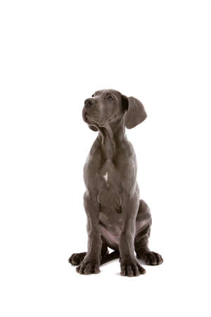 Cute young great dane on white background