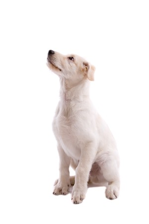 white shepherd dog: Adorabile giovane pastore svizzero cane bianco su fondo bianco Archivio Fotografico