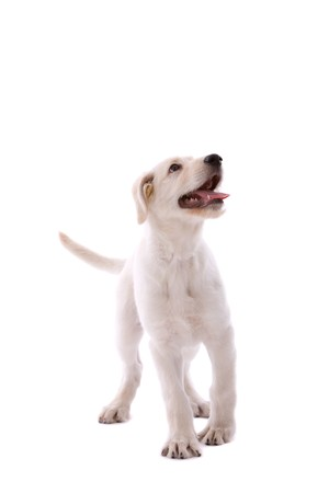 white shepherd dog: Cute pastore svizzero cane bianco su sfondo bianco