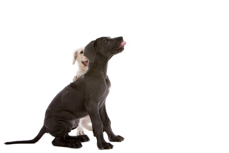 White swiss shepherd dog and a great dane pup on white background Stock Photo - 3951702