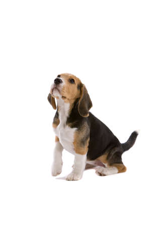 Cute young beagle looking attentive with one leg up photo