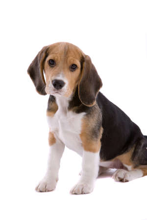 Cute young beagle pup looking adorably cute on white background photo