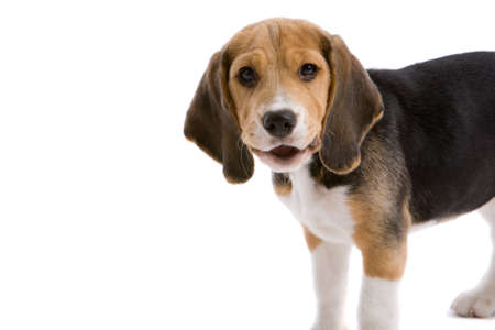 Cute young beagle looking as if he is saying something