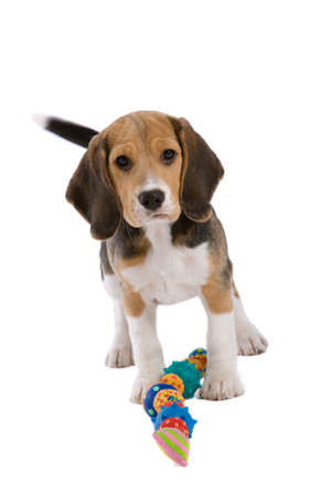 Cute young beagle pup looking very protective of its toys Stock Photo