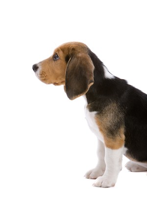 pleading: Cute young beagle puppy looking up at the boss with a pleading look
